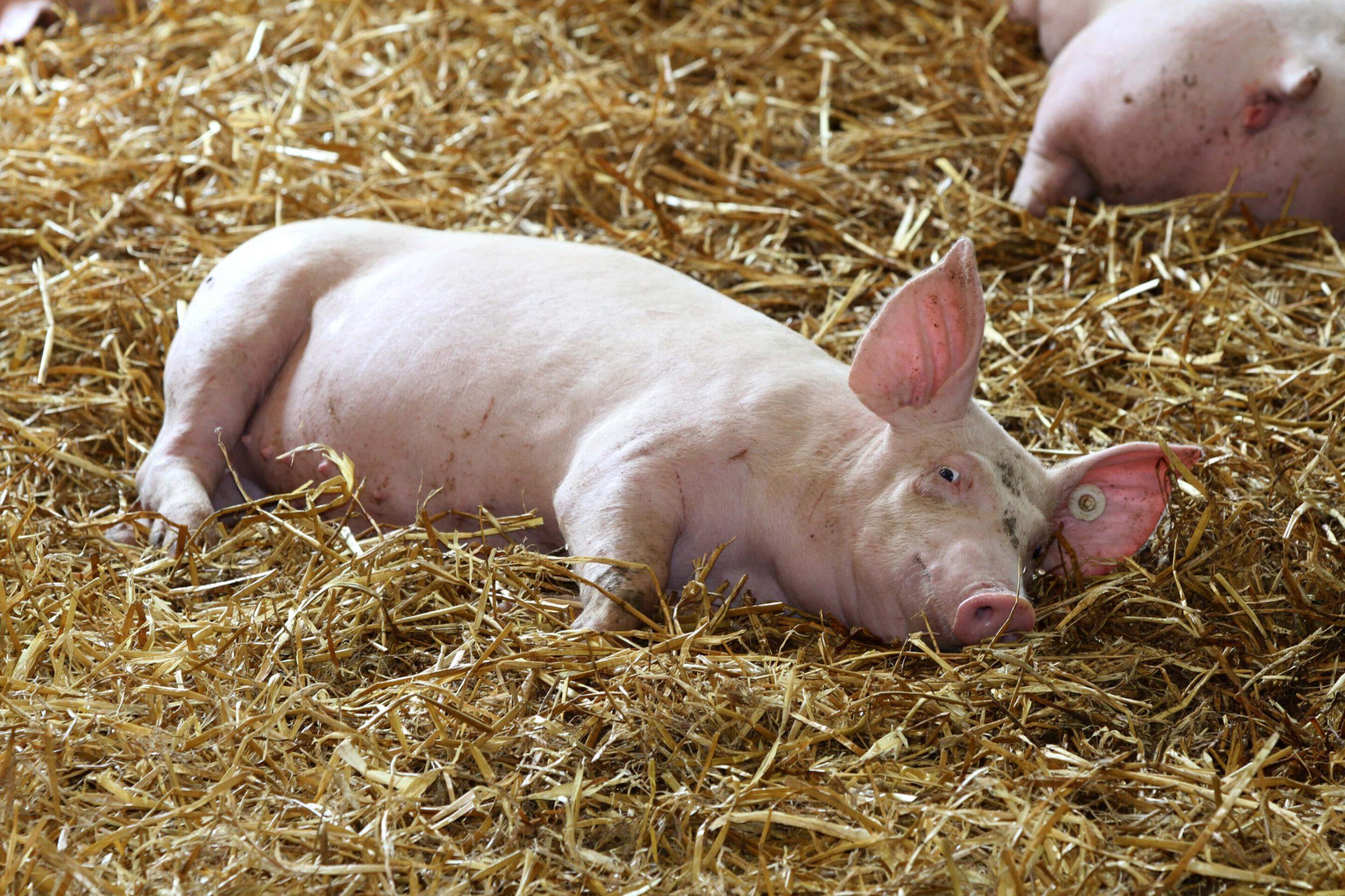 Strohschwein liegend-min